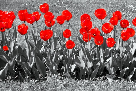 Red tulips in garden field