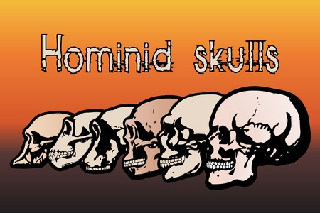 Different types of human skulls by evolution Stock Vector - 9722329