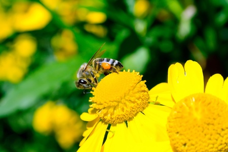 Bee on a yellow flower collecting pollen photo