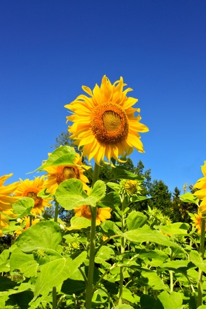 Sun flower with blue sky in background Stock Photo - 10441111