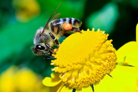 Close-up scene with bee on a yellow flower Stock Photo - 11130935