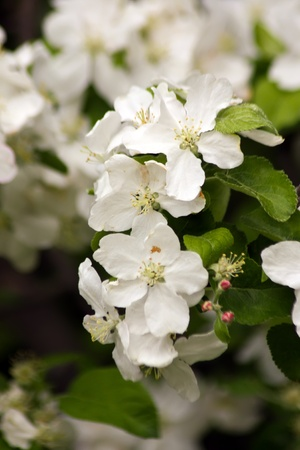 Branch of pear flowers in natural environment Stock Photo - 13525199