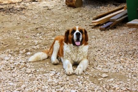 Saint bernard dog sitting at Curmatura chalet from Piatra Craiului photo