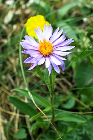 Aster Alpinus from Piatra Craiului photo