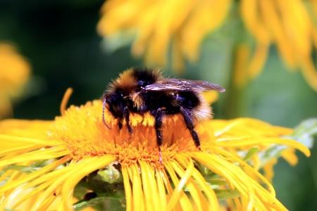 Macro scene with honey bee on yellow flower