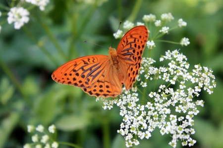 Orange butterfly collecting pollen on a white flower photo