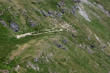 The flock of sheeps grazing on the mountain meadow, Fagaras mountains from Romania photo