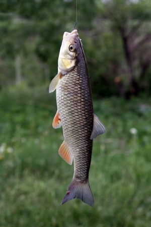 cyprinidae: The chub is a European species of freshwater fish in the carp family Cyprinidae