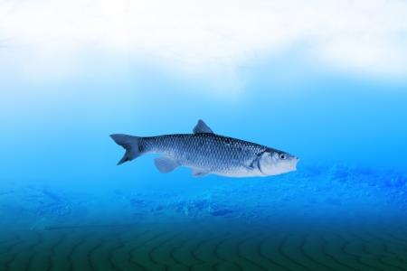 chub: Chub fish underwater blue river