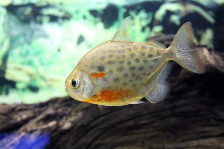 Single fish in a green aquarium Stock Photo - 21493726