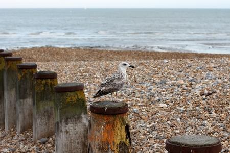 Seagull Beach, Eastbourne