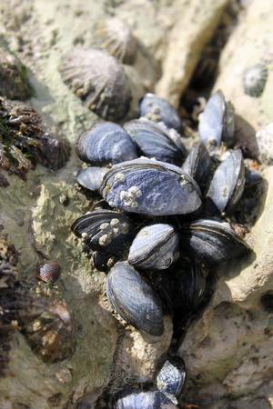 Wild clams between rocks Stock Photo