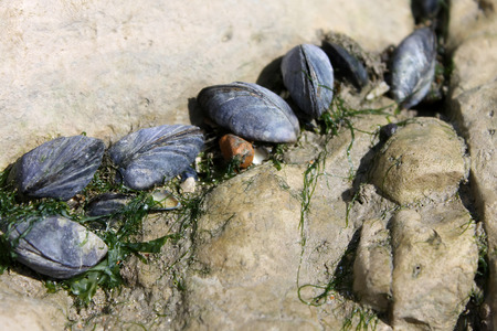 Wild clams in natural environment