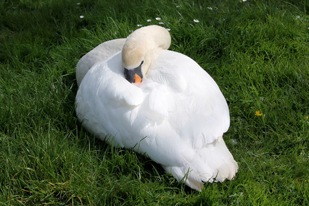 Sleeping swan over the grass