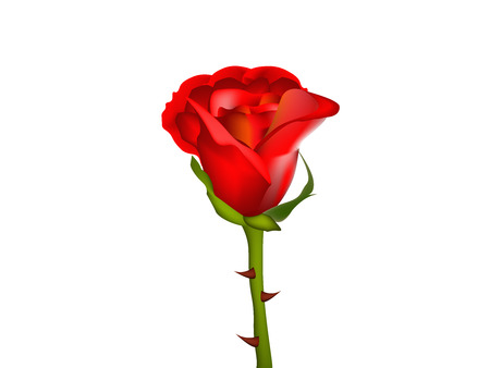 Rose flower isolated over white background