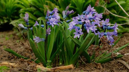 hyacinthus: Jard�n Florecen las flores azules del jacinto Jacinto -