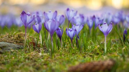 Beautiful magenta crocus field  Purple crocuses photo