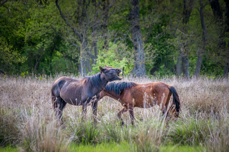 Letea forest, Tulcea county, Romania. Wild horses in Danube Delta. Natural reservation of Letea. Stock Photo