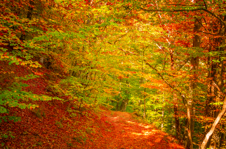 Autumn in Cozia, Carpathian Mountains, Romania. Vivid fall colors in forest. Scenery of nature with sunlight through branches of trees. Colorful Autumn Leaves. Green, yellow, orange, red. 版權商用圖片