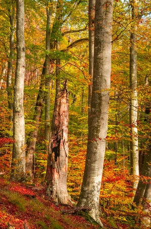 Autumn in Cozia, Carpathian Mountains, Romania. Colorful Autumn Leave. Vivid fall colors in forest. Scenery of nature with sunlight through branches of trees.