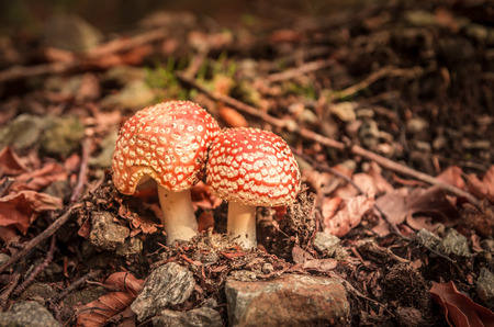 Orange mushrooms in a mountain forest. Red Amanita muscaria in autumn.