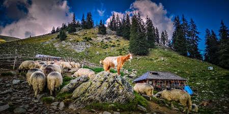 Fagaras mountains, Romania. Herd of goats and sheep at a sheepfold in Wallachia