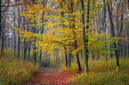 Misty autumn morning in forest, Carpathian Mountains, Romania. Vivid fall colors in forest. Scenery of nature with sunlight through branches of trees.
