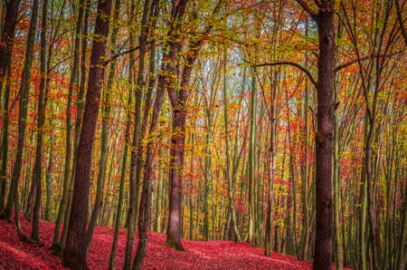 Autumn in forest, Carpathian Mountains, Romania. Vivid fall colors in forest. Scenery of nature with sunlight through branches of trees. Colorful Autumn Leaves. Green, yellow, orange, red.