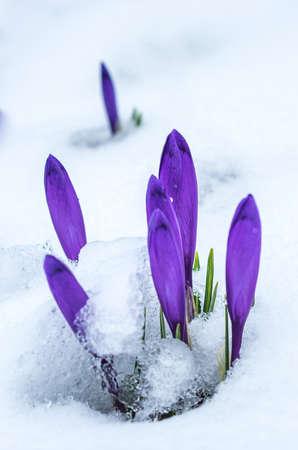 Crocus flowers in real snow. Crocus blossoms in springtime.
