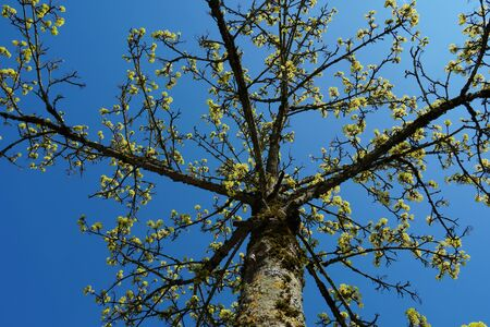 a young tree in the spring with buds and tender new leaves, upward view to the crown of the tree against clear blue sky