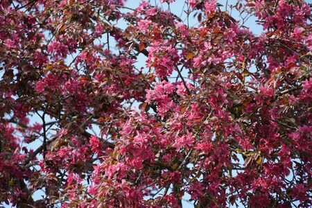 apple tree with decorative dark pink flowers in full blossom serving as a background, its color is emphasized by the blue sky party seen among twigs and flowers. Stock fotó