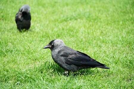 A very young raven, called Corvus in Latin, with plumage of several gray shades standing on a bright green lawn. Lateral view of the bird, with silhouettes of another one in the background. 版權商用圖片