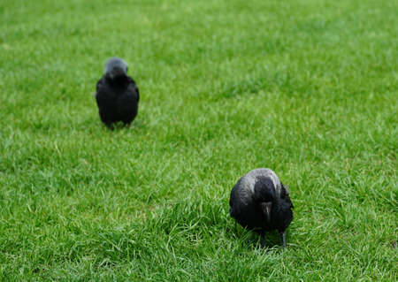 A very young raven, called Corvus in Latin, with plumage of several gray shades standing on a bright green lawn. A front view of the bird, with silhouettes of another one in the background. 版權商用圖片