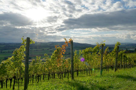 Autumn vineyard on sunny slope in town Weinfelden, in Switzerland arranged in rows. Sun is penetrating through the clouds and is reflecting in yellow golden leaves of vines.