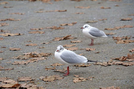 Two seagulls looking at different directions standing on cement ground with a lot of copy space. There are dry leaves scattered sparsely on the ground. Harbor or pier scene on late autumn day.