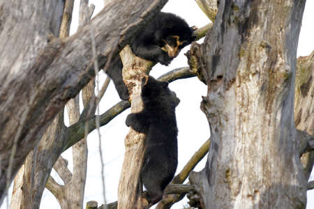 Two spectacled bears, called Tremarctos ornatus in Latin, playing together and climbing on tree branches. It is a short faced bear native to South America. There is copy space on the left and right side