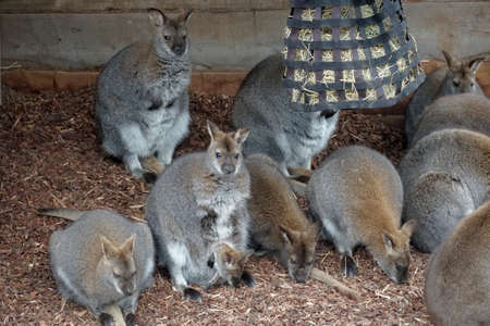 Group of wallabies, one of them with a baby in the pouch. They live in the captivity. It is endangered species because of disappearing of its habitat or living space.
