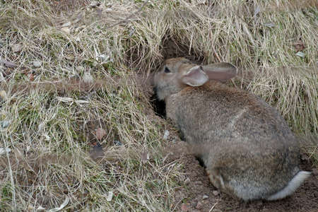 European rabbit entering an underground hole, its natural habitation. In Latin it is called Oryctolagus cuniculus. There is a lot of copy space on the left side of the photo.
