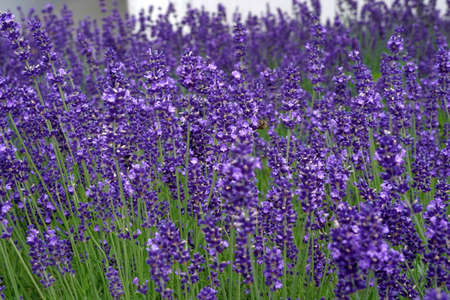 Lavender flowers in blossom as background in springtime. There are some bees on the flowers.