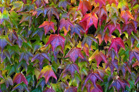 Boston ivy, in Latin called Parthenocissus tricuspidata, with colorful foliage in autumn. The climbing ornamental plant is used for covering of facades. Cutout suitable as seasonal background.
