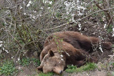 Sleepy European Brown bear (Ursus arctos) lies between trees in small  dent at the Bärenpark Bern, City of Bern, Canton of Bern, Switzerland.