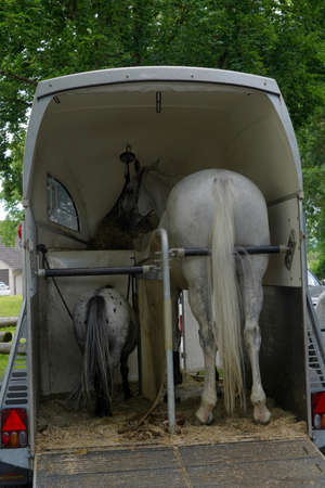 Race horse and pony standing side by side in a horse trailer. It is open and parked. Both horses are white. Photo is taken in rear view. Banque d'images