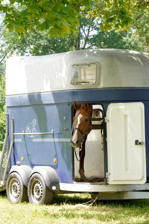 Race horse looking out of a horse trailer. It is open and parked. The horse is getting ready for a race. Side view of a trailer that is parked under a tree. Banque d'images