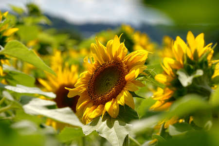 Sunflower in bloom with a sunflower field on th background. Selective focus is on the foreground.