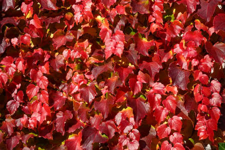 Boston ivy in autumn in various shades of red color. The creeping plant as a seasonal background. In Latin it is called Parthenocissus tricuspidata.