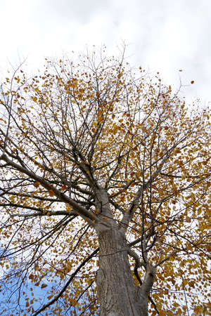 Tree in autumn in low angle view. It has a large crown but very only a few leaves in yellow and brown color. On the background there is sky with clouds. Some copy space is available. Banque d'images