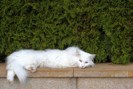 White cat with long hair stretched on brick wall. There is a cedar hedge on the background with a lot of copy space.