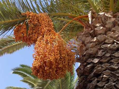 Date palm tree and oranges hanging on the tree photo