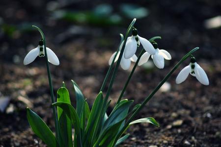 snowdrops: Snowdrops Stock Photo