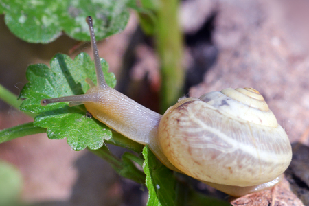 land shell: Snail